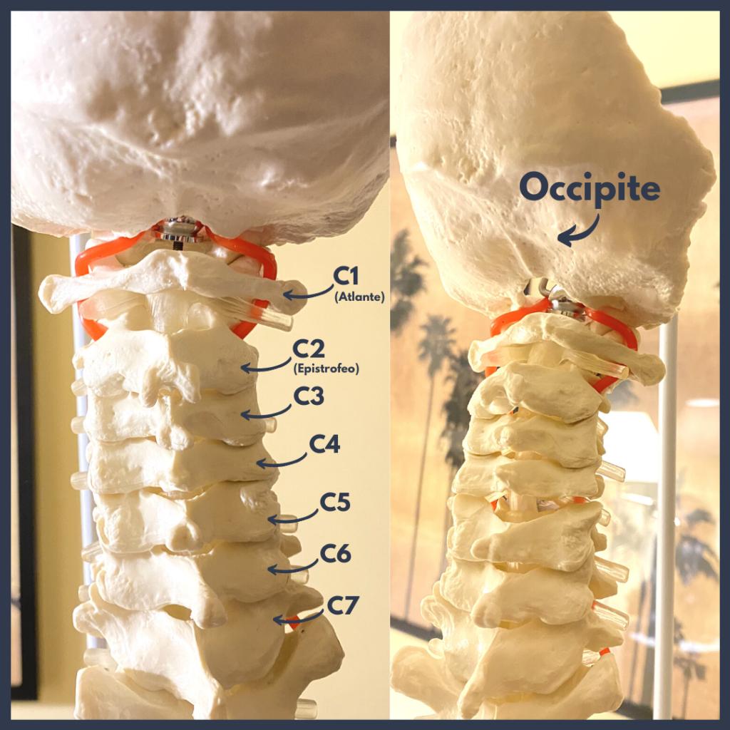 Struttura ossea del rachide cervicale. Modello realistico da studio.